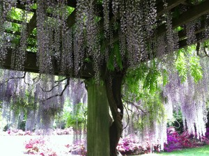Dreaming out loud: A personal garden full of Japanese Wisteria would bring me peace & beauty.